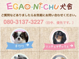 チワワ子犬ブリーダー福岡EGAO-NI-CHU犬舎